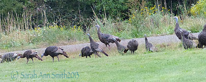 We have two clans of wild turkeys this year.  One is about nine, the other about 19.  That's a lot of turkey!  The bunch of them moving through the woods is suprisingly pretty noisy.  And I know they like apples because they were rather startled from a tasty meal the other day as I walked pas with Pigwidgeon.