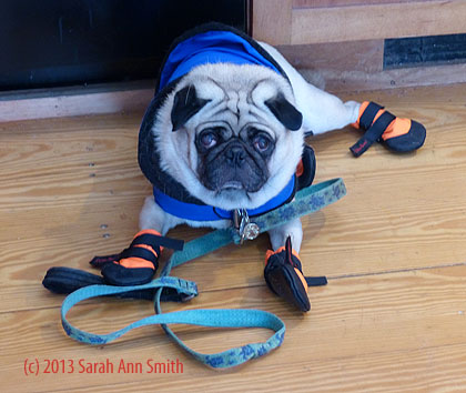 Seriously, Mom, you DID this to ME?  Your beloved pug-love?  ME?  WHY?  I am beyond humiliated.....
