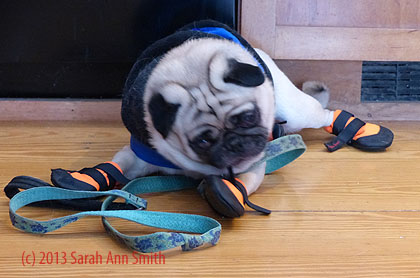 And then:  Ha HA!  I'm not as much of a walnut-brain as you think I am, Mom!  I can deal with Velcro.  Well, at least until you come wrap it tighter and I can't get the end seeing as I don't have a snout!