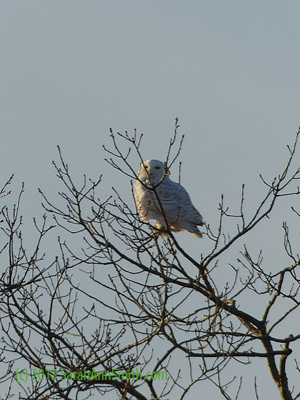 Snowy Owl at Clarry Hill, Union, Maine