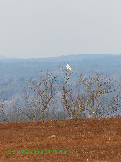 See that white spot in the tree?  That's my first view of the snowy owl!  Gotta go log that into the margins of my Roger Tory Petersen guide!