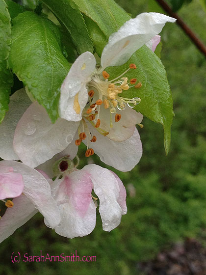 One apple tree is a bit further into bloom...wouldn't this be a spectacular quilt?