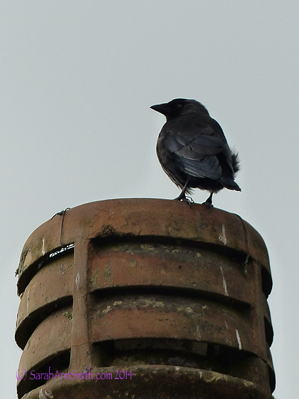 "I took a number of photos of ""chimney pots,""  often with birds. Love the feathers ruffled by the wind on this gray day."