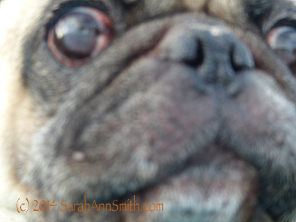 A happy, wild-eyed pug ready to smooch his mama (that would be me)