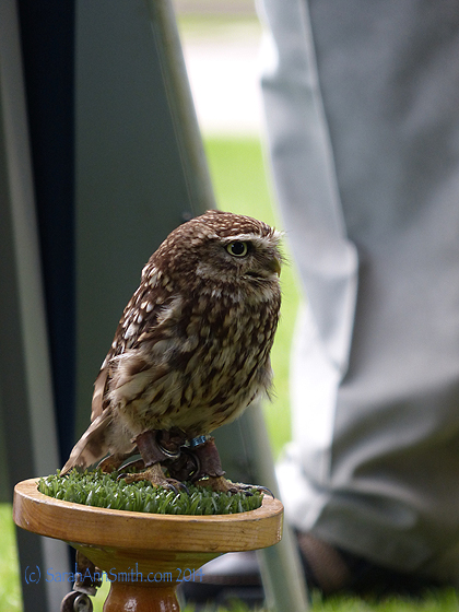 A little owl.