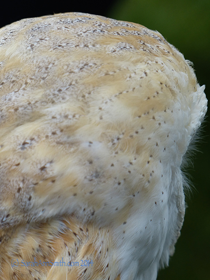 LOOK at those stunning feathers on the barn owl!